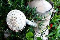 Vattenkanna bland växter. Foto: Gabriella Fabbri, stock.xchng