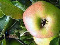 Äpple på en gren.