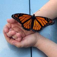 En fjäril i ett par barnhänder.