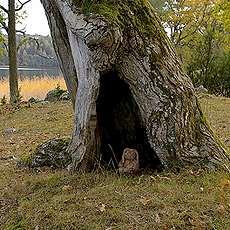 Ett ihåligt träd.